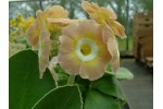 BARNHAVEN BORDER AURICULAS - Pink and yellow