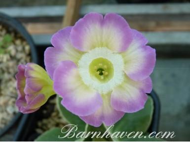 Auricule de jardin rose et jaune