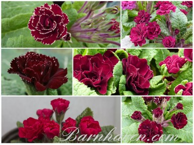 BARNHAVEN DOUBLE PRIMROSE - Reds