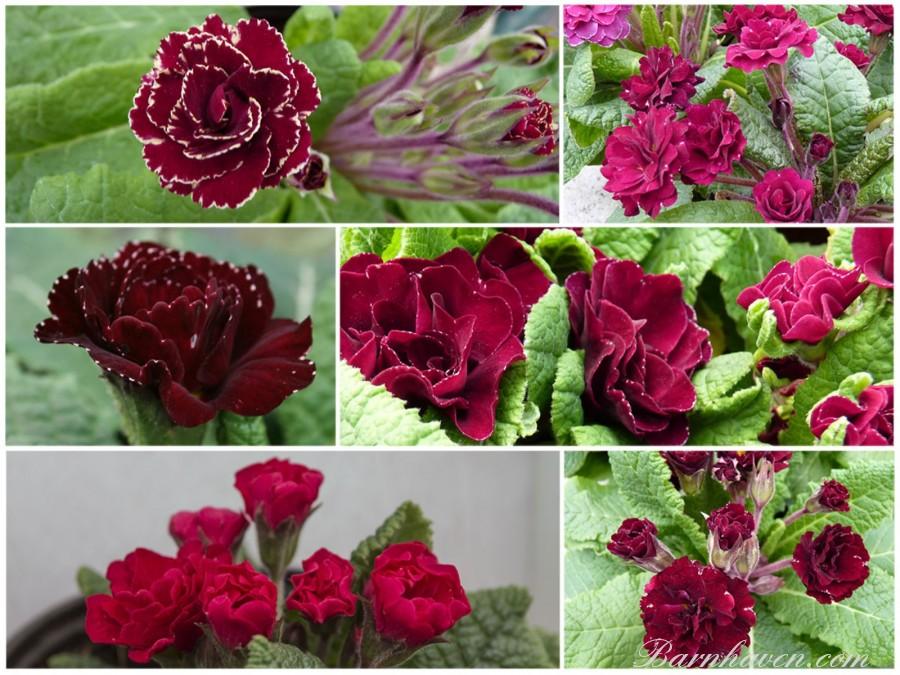 Barnhaven double primrose red