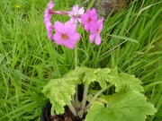 Primula kisoana var.shikokiana 'Noushoku'