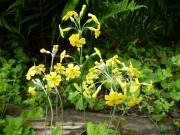 Primula cockburniana 'Kevock Sunshine'