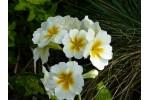 Primevère blanche WINTER WHITE