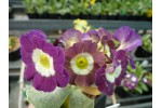 Border auricula Dolly Mixture