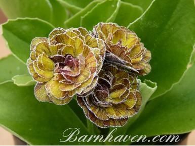 Double auricula autumn jewels