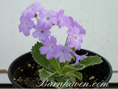 Alpine primula Baldock's purple
