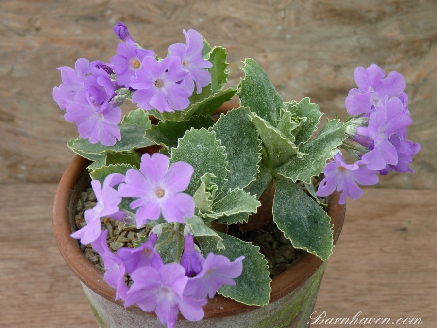 Alpine primula Clears variety