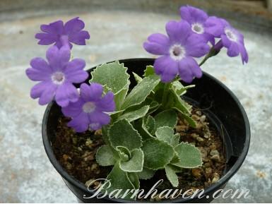 Alpine primula Kesselring's variety