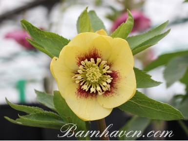Helleborus x hybridus 'Barnhaven Hybrids' Single Yellow Shades with red centres