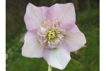 Hellebore pink anemone centre