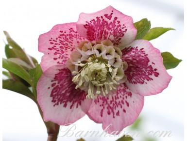 Helleborus x hybridus 'Barnhaven hybrids' Anemone Centre Pink Shades