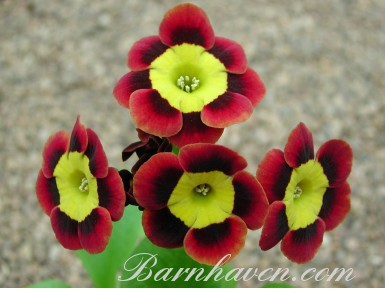Alpine auricula Amicable