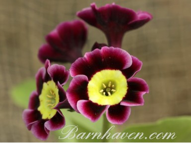 Alpine auricula Avril