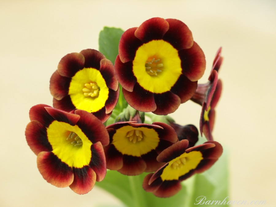 Primula auricula Bewitched