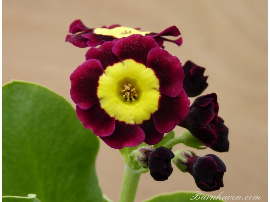 Alpine auricula Blossom
