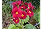 Polyanthus primrose INDIAN REDS