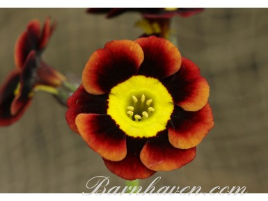 Primula auricula Bright Eyes