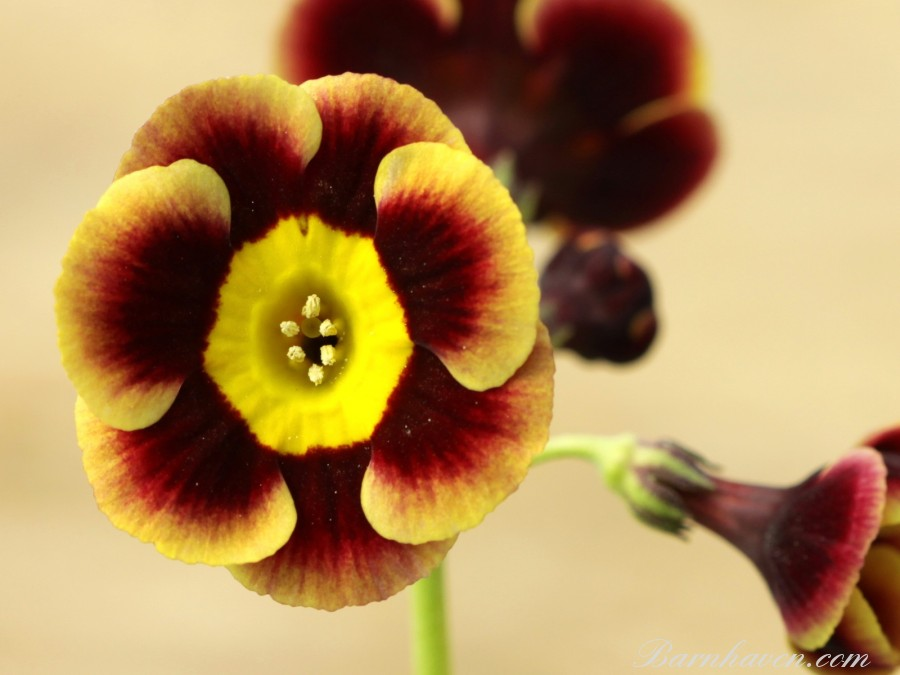 Alpine auricula Golden Wedding