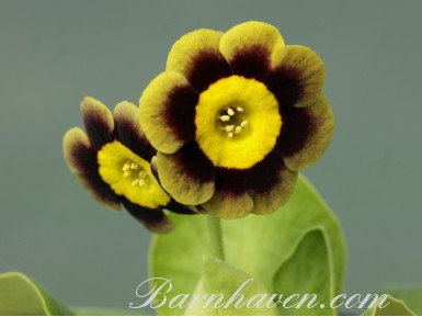 Alpine auricula Lee Paul