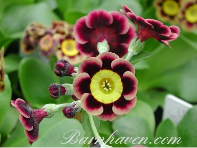 Primula auricula Lee Sharpe