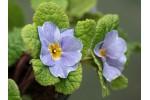 Primula jack-in-the-green blue