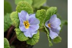 Primula jack-in-the-green blue