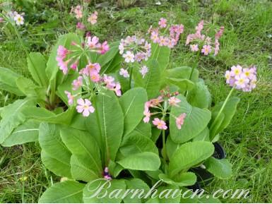 Primula beesiana pink hybrids