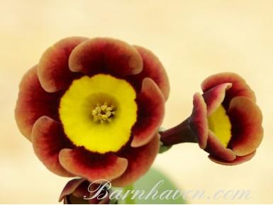 Auricule alpine The Egyptian