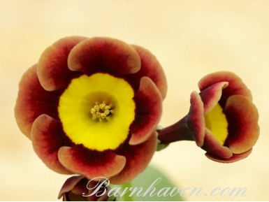 Primula auricula The Egyptian