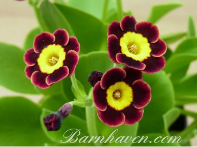 Alpine auricula The Sneep