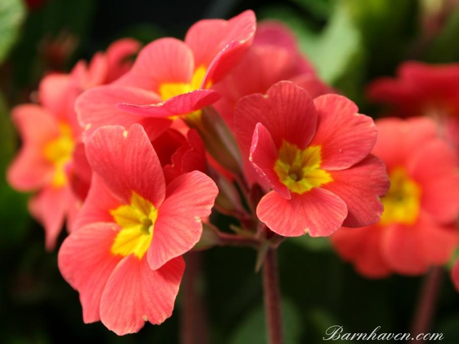 Polyanthus primrose HARBOUR LIGHTS