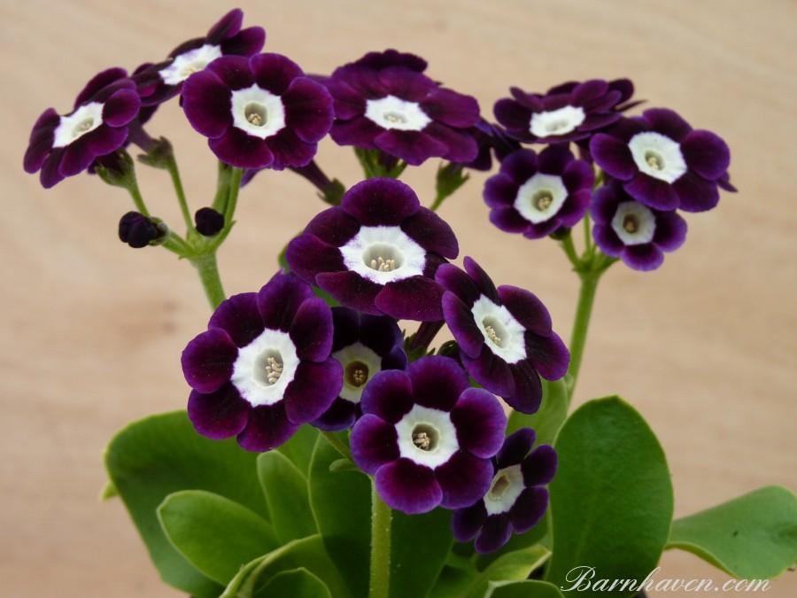Alpine auricula Thetis