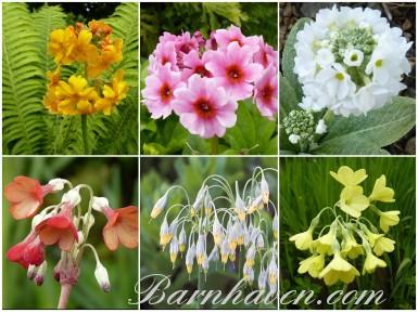 Bog garden Primula