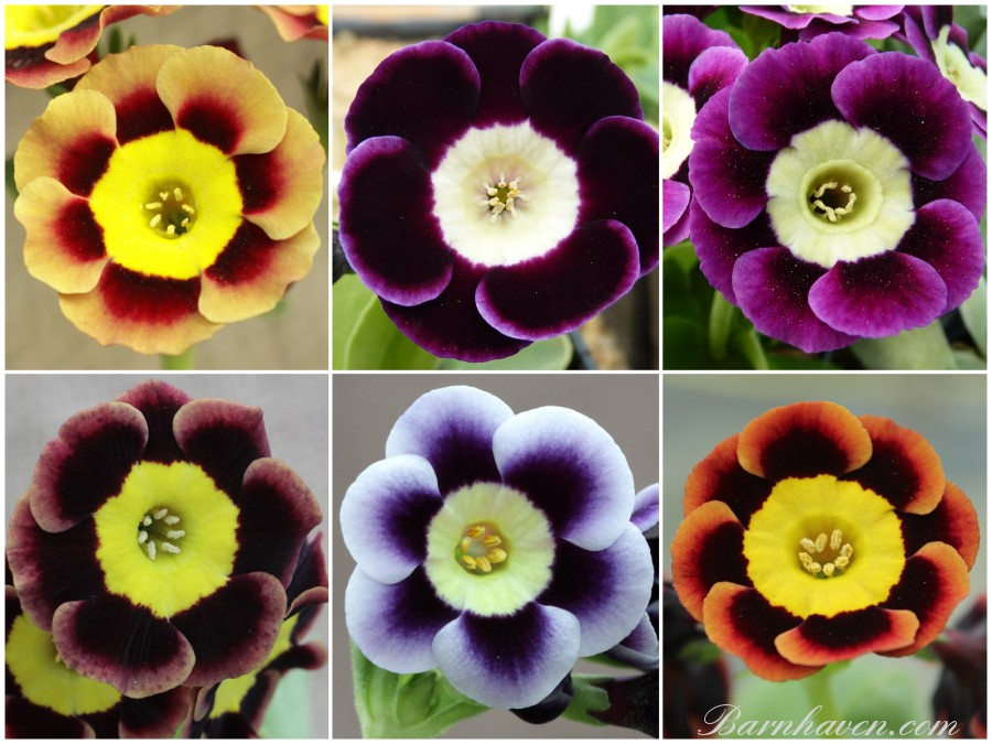 Alpine auricula collection