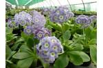 Light blue garden auricula