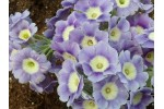 Light blue garden auricula