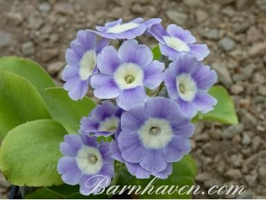 Auricule de jardin bleu clair