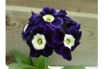 Violet Border auricula