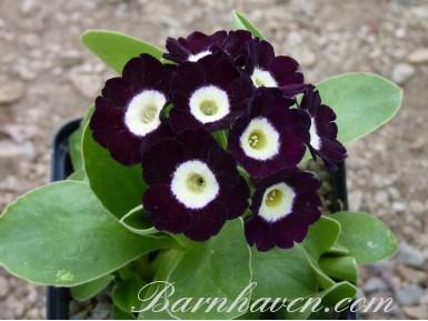 Auricule de jardin Violet