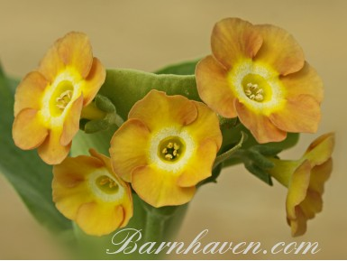 Auricule de jardin Border Bandit
