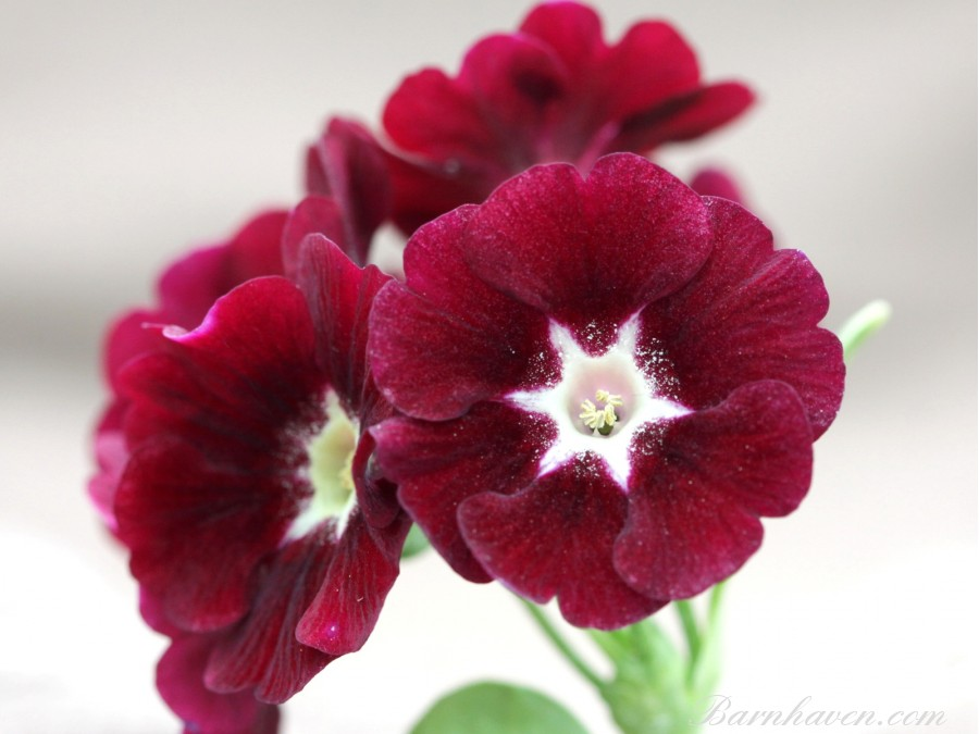 Border auricula Fairy dust