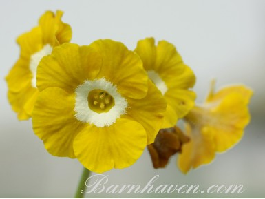 Border auricula Old Irish Scented
