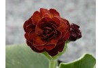Brown double auricula