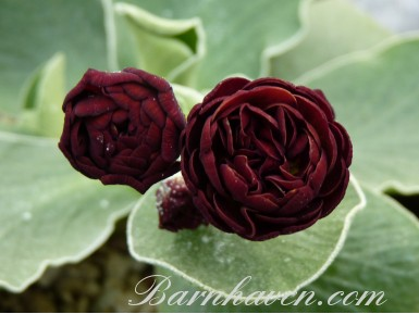 BARNHAVEN DOUBLE AURICULA - Brown shades