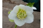 Hellebore Anemone White