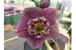 Hellebore anemone-centre dark