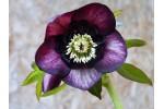Hellebore coeur d'anemone foncé
