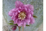 Double pink hellebore