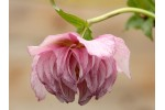 Double pink hellebore