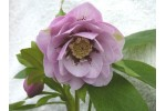 Gefüllte Helleborus Rosa